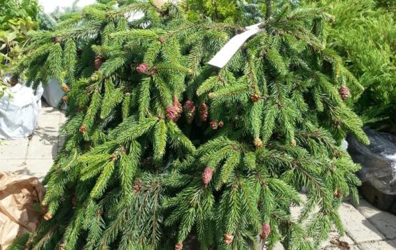 """Ель обыкновенная """"Акрокона"""" (Picea abies """"Acrocona"""" ) - медленнорастущая, неправильной формы. В зрелом возрасте маленькое деревце. Высота к 30 годам около четырех метров. Особый интерес вызывают шишки: незрелые - ярко-красные, зрелые - светло-бурые, свисающие вниз. Почва: хорошо дренированная, плодородная, не переносит заболачивания. Морозостойка."""