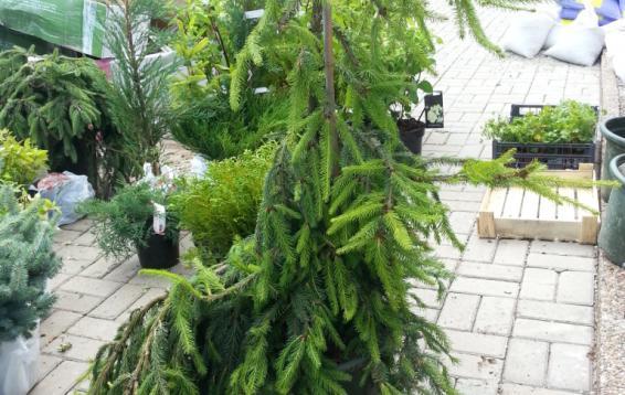 Ель обыкновенная Инверса (Picea abies 'Inversa'). Плакучая, медленнорастущая разновидность ели, рост которой зависит от высоты прививки или способа подвязки. Дерево 6 - 8 м высотой, с узкой, неравномерно развитой кроной. Диаметр кроны 2 - 2,5 м. Годичный прирост составляет 15 - 20 см. Хвоя темно-зеленая. Морозоустойчива.