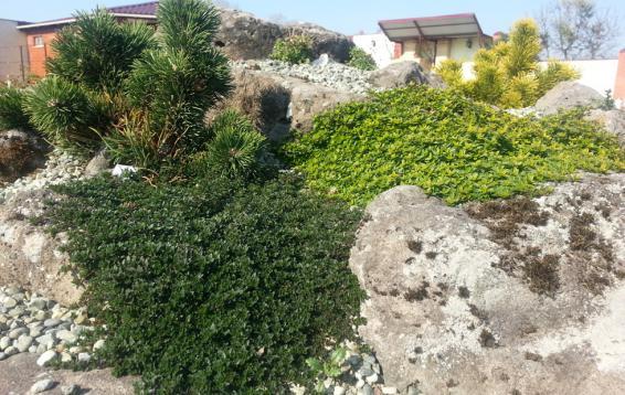 Тимьяны весной