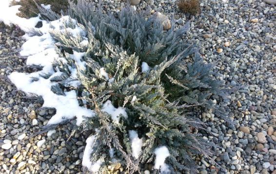 Можжевельник горизонтальный весной (Juniperus horizontalis). Прижатый к земле стелющийся кустарник до метра высотой. Хвоя зеленая или сизая, на зиму буреет. Довольно медленно растет, особенно в первые годы жизни. Зимостоек. Размножается семенами и черенками.