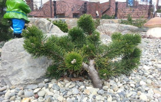 Сосна горная Якобсен (Pinus mugo 'Jakobsen'). Карликовый кустарник нерегулярной формы. Диаметр кроны около семидесяти сантиметров, высота до сорока сантиметров. Этот сорт обладает естественными «бонсай» - характеристиками.  Хвоя изогнутая, густая, образует плотные «помпоны». Ветви изогнутые, толстые стремятся принять горизонтальное положение. С возрастом основания ветвей оголяются. Морозостойка. Устойчива в городских условиях.