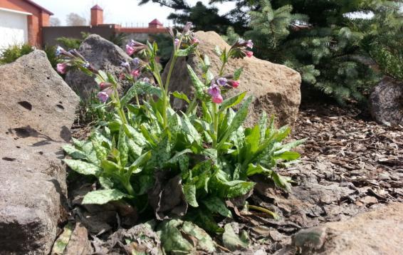 Медуница лекарственная (Pulmonaria officinalis) Полутень, на сухих солнечных местах растение нередко поражается мучнистой росой. Примечательно изменение окраски венчика: розовые в начале цветения, синие - к концу.