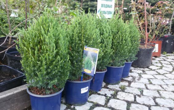Можжевельник китайский Стрикта (Juniperus chinensis 'Stricta').  Кустарник с узкой конусовидной кроной. Растет медленно. Хвоя колючая, зеленовато-голубая. Зимой хвоя приобретает интересный голубовато-стальной оттенок. Предпочитает солнце или полутень. Морозостоек.
