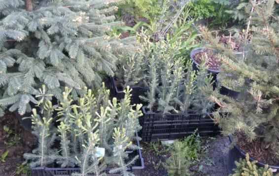 Сеянцы ели колючей Кейбаб (Picea pungens Glauca Kaibab) в центре. Очень красивое дерево с правильной, конической кроной. Высота до 10 м, диаметр кроны до 3 метров. Ежегодный прирост 8-10 см. Хвоя серебристо-голубая, очень густо расположена. Морозостойкость высокая, не страдает от возвратных заморозков. В тени может терять голубой окрас, меняя его на темно-зеленый.