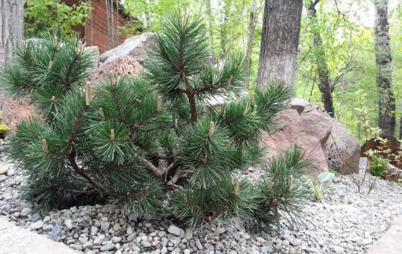 Сосна горная Мугус (Pinus mugo var.mughus). Карликовый шаровидный кустарник. Диаметр кроны до четырех метров, высота - около трех метров. Ежегодный прирост составляет 10 см в высоту и 12 см в ширину. Морозостойка. Устойчива в городских условиях.