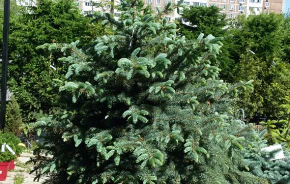 Ель колючая (Picea pungens). Вечнозелёное хвойное дерево высотой 25—30 м. Шишки слабо цилиндрические, длиной 6—11 см.  Цвет шишек от красноватого до фиолетового, зрелая шишка светло-коричневая. Со временем адаптируется к высокой инсоляции нашего региона и не требует укрытия.