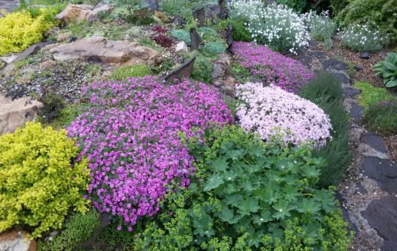 Низкорослые флоксы в цвету