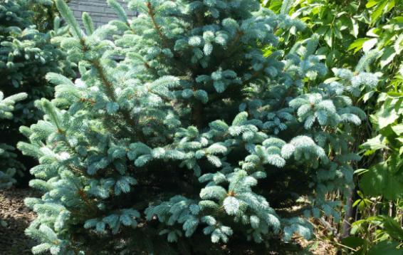 Ель колючая Фат Альберт (Picea pungens 'Fat Albert'). Отличается правильной конической формой кроны. В высоту достигает 10-15 м и 3,5 м в ширину. Годовой прирост до 30 см в высоту и 15-20 в диаметре, в 30 лет высота дерева 10 м. Хвоя красивого серебристо-голубого цвета. Ветви жесткие, выдерживают тяжесть мокрого снега. В тени окраска темнеет. Зимостойка. Переносит загрязнение воздуха.