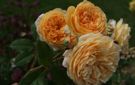 Английская роза Crown Princess Margareta   (DAVID AUSTIN)