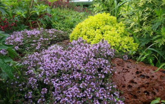 Тимьян в цвету