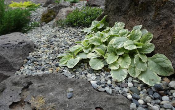 Живучка ползучая (Ajúga réptans) образует плотный коврик. Помимо отличных декоративных характеристик (в течение всего сезона), будет выполнять и практическую функцию: уменьшит количество сорняков.