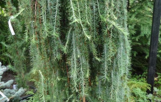 Лиственница японская Стифф Випинг (). Очень красивая плакучая, голубая лиственница.  Диаметр кроны взрослого растения около метра, высота - около двух с половиной метров. Хвоя зелено-голубая, нежная. Форма штамбовая, поэтому требуется хорошее укрытие на зиму.