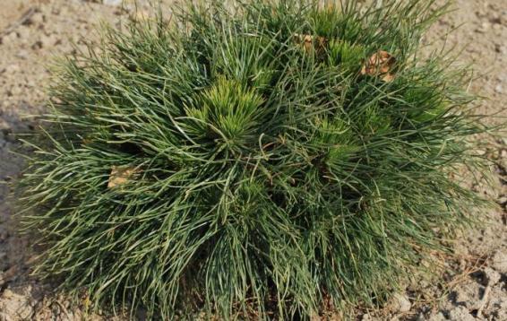 Сосна горная Варелла (Pinus mugo 'Varella'). Оригинальная карликовая форма с шаровидной плотной кроной. Высота взрослого дерева  до полутора метров, ширина чуть больше метра. Годовой прирост до 10 см. Хвоя удлиненная темно-зеленая немного подкрученная. Молодые хвоинки короче взрослых, за счет этого получается эффект «ореола» вокруг кроны. Медленнорастущая. Морозостойка. Требуется притенение.