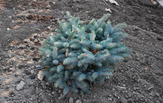 """Ель колючая """"Глаука Глобоза"""" (Picea pungens 'Glauсa Globosa'). Карликовая форма, к 30 годам достигает полутора метров. Крона изначально округлая, у взрослых растений коническая. Хвоя серебристо-голубая, колючая. Требования к почве и влаге очень невысокие. Хорошо переносит загазованность. Морозоустойчива."""