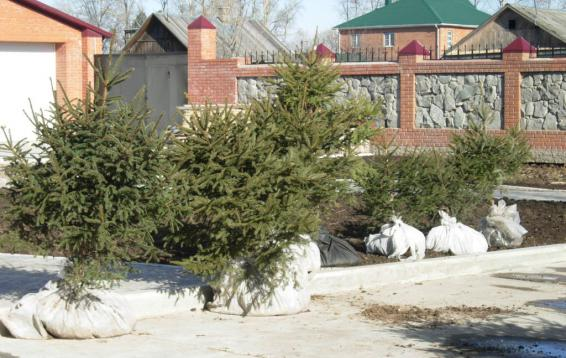Перед посадкой. Ель Аянская (Picea jezoensis). Дальневосточница. Высота 35-40 метров. Крона пирамидальная, шишки до восьми сантиметров длинной. Доживает до 400 лет.