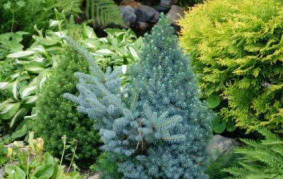 Ель канадская Сандерс Блю (Picea glauca эSander's Blueэ) с ведьминой метлой. Маленькая елочка конической формы. Цвет хвои ярко-голубой. Настоящий карлик. К десяти годам едва вырастает до 70 см. Почва: влажная, слабокислая, хорошо дренированная. Морозостойка. Укрытие от весеннего солнца ОБЯЗАТЕЛЬНО!