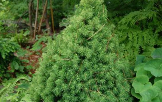"""Ель канадская """"Коника"""" (Picea glauca 'Conica'). Достигает высоты двух метров. До 10 или 15 лет прибавка в росте до 6-8 см в год. В дальнейшем интенсивность прироста снижается до двух - трех сантиметров в год. В диаметре ель может достигать 80 см. Укрытие от весеннего солнца ОБЯЗАТЕЛЬНО!"""