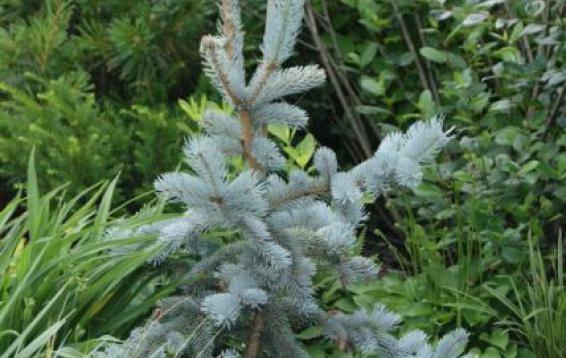 Ель колючая Хупси (Picea pungens 'Hoopsii'). Этот сорт считается самой ярко-окрашенной среди елей колючих. Отличается серебристо-голубой хвоей, конической, густой формой кроны и относительно небольшими размерами. Высота взрослого растения составляет 13-15 м, а диаметр достигает 4-5 м. Хвоя текущего года (прироста) - ярко-голубая, более старая хвоя - темно-зелено-голубого цвета. Ветви выдерживают тяжесть мокрого снега. Светолюбива, дымогазоустойчива, морозостойка.