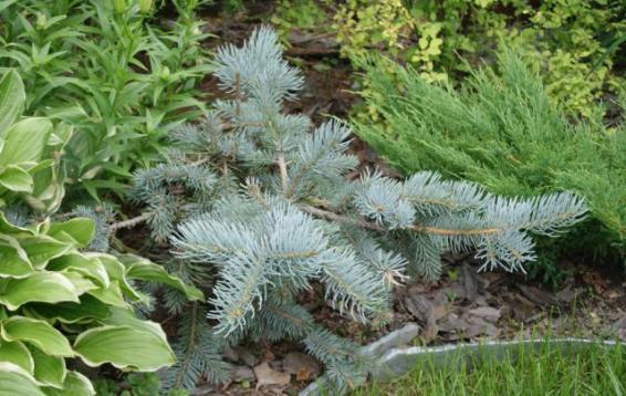 Ель колючая Глаука Пендула (Picea pungens 'Glauca pendula'). Форма искривлённая или строго прямая; нижние побеги косо свисающие, вышестоящие ветви сначала горизонтальные, позднее поникающие. Хвоя как у вида, но серебристо-серая, иногда голубовато-серая.