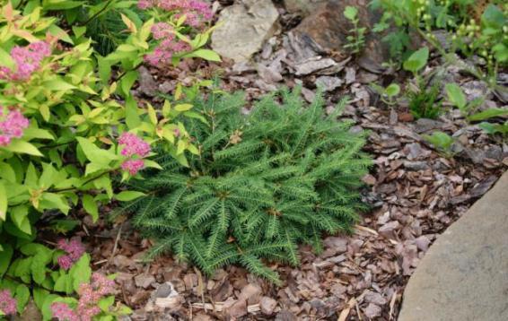 Ель обыкновенная Прокумбенс (Picea abies 'Procumbens'). Быстрорастущая карликовая форма ели обыкновенной, имеет широкую и плоскую крону. Диаметр кроны взрослого растения: 3 м.  Высота около 0.5 м. Ежегодный прирост в высоту 3-4 см, в ширину 10 см. Теневынослива, но лучше развивается при достаточном освещении. Переносит временное избыточное увлажнение. Морозоустойчива.