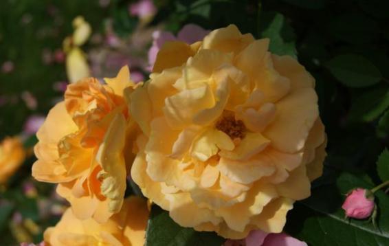 Bernstein-Rose флорибунда