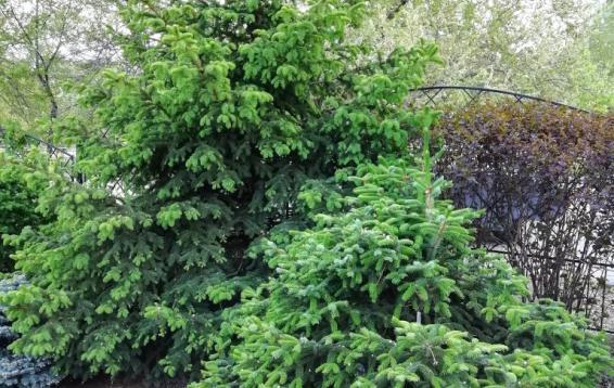Ель Аянская (Picea jezoensis). Дальневосточница. Высота 35-40 метров. Крона пирамидальная, шишки до восьми сантиметров длинной. Доживает до 400 лет.