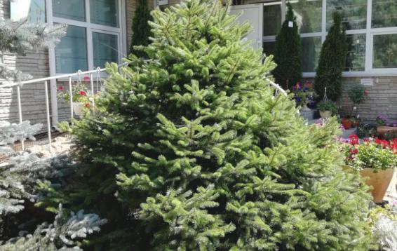 Стриженная Ель Аянская (Picea jezoensis). Дальневосточница. Высота 35-40 метров. Крона пирамидальная, шишки до восьми сантиметров длинной. Доживает до 400 лет.