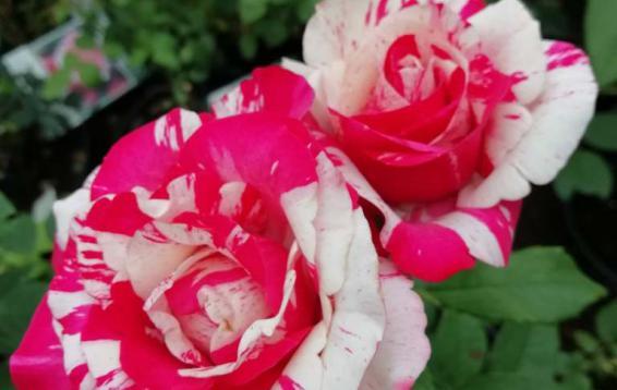 Роза чайно-гибридная Пападжино