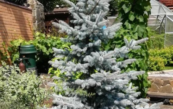 Ель колючая Ольденбург (Picea pungens 'Oldenburg') после зимы. Хвоя равномерно-длинная, ярко-голубая. Вырастает до 10-12 метров высотой и 4-5 метров шириной. Годовой прирост 30-50 см. в год. Морозоустойчива. Предпочтительно солнечное место для посадки, в тени насыщенный цвет иглы блекнет.