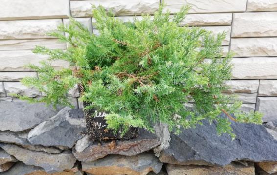 Можжевельник даурский Ленинград (Juniperus davurica Leningrad)