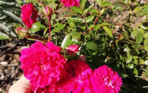 Роза миниатюрная Рокси