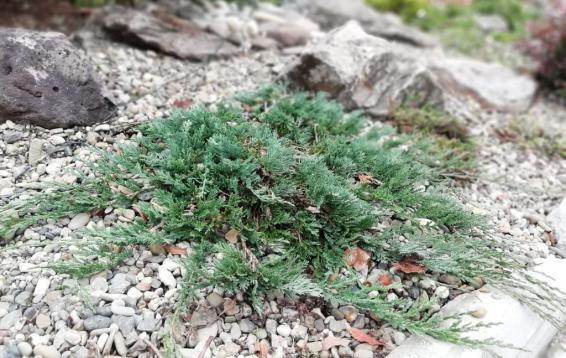 """Можжевельник горизонтальный """"Вилтони"""" (Juniperus horizontalis 'Wiltoni'). Прижатый к земле стелющийся кустарник до метра высотой. Хвоя зеленая или сизая, на зиму буреет. Довольно медленно растет, особенно в первые годы жизни. Зимостоек. Размножается семенами и черенками."""