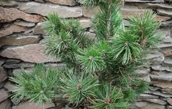 Сосна горная Гном (Pinus mugo 'Gnom'). Карликовый кустарник плотный, компактный. Диаметр кроны до полутора метров, высота до двух метров. Крона в молодости округлая, позже - куполообразная.  Хвоя жесткая, темно-зеленая, блестящая. Предпочитает солнечные места. Морозостойка. Устойчива в городских условиях.