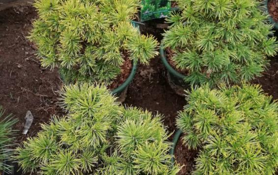 Сосна горная Карстенс Винтерголд (Pinus mugo 'Carstens Wintergold'). Карликовый шаровидный кустарник. Диаметр кроны до 1.2 м, высота до 0.7 м. Годовой прирост 6-7 см. Хвоя темно-зеленая летом, осенью желтеет до практически оранжевого, с медным оттенком, цвета. Зимнее окрашивание сохраняется до появления новых побегов. Морозостойка. Устойчива в городских условиях.