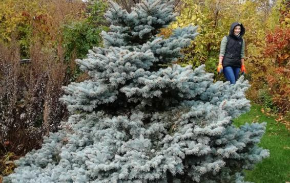 """Ель колючая """"Глаука Глобоза"""". (Picea pungens 'Glauсa Globosa'). Карликовая форма, к 30 годам достигает полутора метров. Крона изначально округлая, у взрослых растений коническая. Хвоя серебристо-голубая, колючая. Требования к почве и влаге очень невысокие. Хорошо переносит загазованность. Морозоустойчива."""