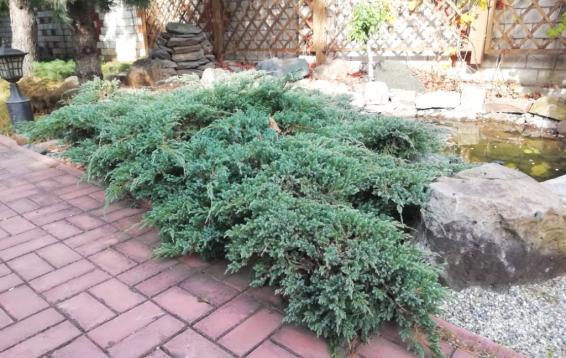 """Можжевельник чешуйчатый """"Блю спайдер"""" (Juniperus squamata 'Blue spider')"""