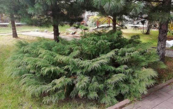 Микробиота перекрестнопарная (Microbiota decussata). Уникальное растение, открытое и описанное лишь в 1921-1923 гг. Единственное место ее  естественного произрастания – склоны хребта Сихоте-Алинь. Диаметр кроны до пяти метров, высота до метра. Хвоя темно-зеленая летом, зимой – медно-коричневая. Ветви  гибки и упруги и выдерживают даже вес человека, не говоря о тяжести мокрого снега. Взрослые растения очень плохо переносят пересадку. Солнце, тень, полутень. Абсолютная морозоустойчивость.