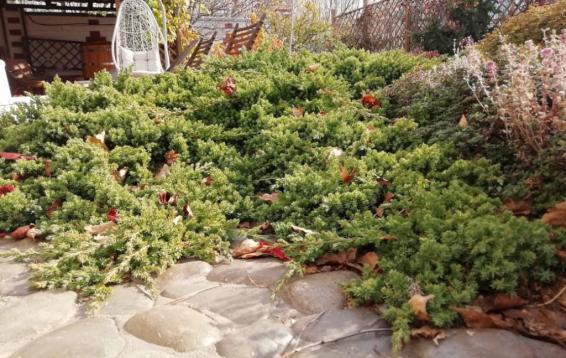 "Можжевельник лежачий ""Нана"" (Juniperus procumbens 'Nana')"