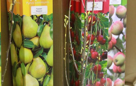 Саженцы груши и вишни
