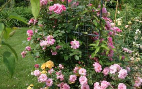 Роза канадской селекции Morden Centennial