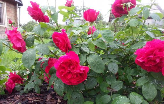 """Роза """"I.D. Braithwaite"""""""