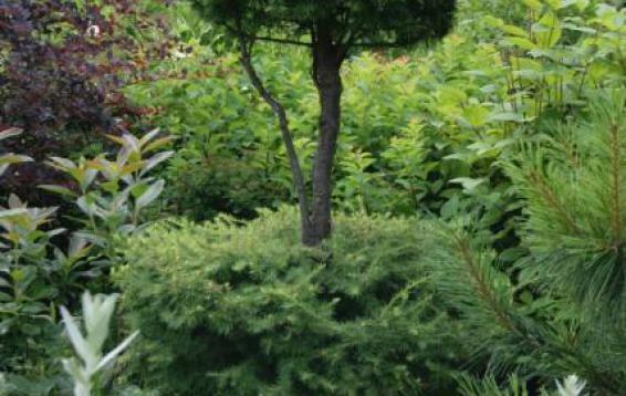 Лиственница Гмелина стриженная (Larix gmelinii)