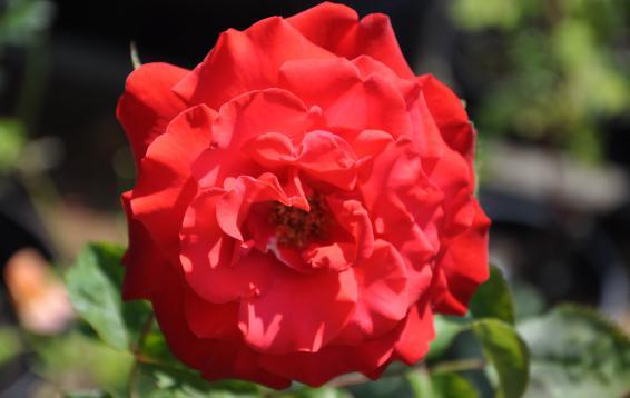 Роза ч/г Grande Amore / Kordes. 07.07.16