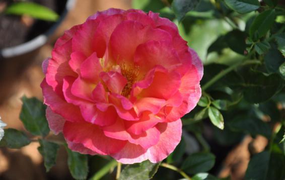 Роза La Parisienne / Delbard 07.07.16