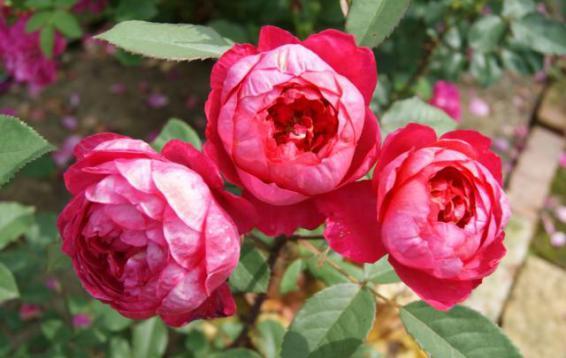 Английская роза (DAVID AUSTIN)