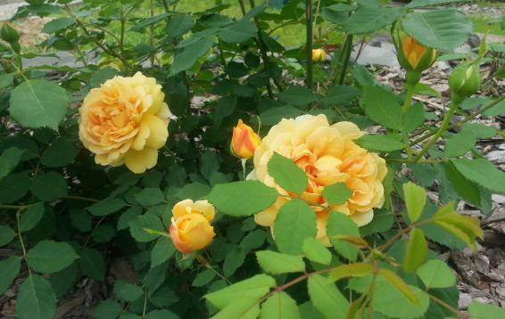 "Роза ""Golden Celebration"""