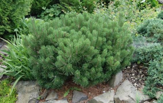 Сосна горная Мопс (Pinus mugo 'Mops'). Карликовый шаровидный кустарник.  Темно-зеленый, очень плотный ,неприхотливый, зимостойкий, нетребовательный к почвенным условиям. Годовой прирост 2-5 см в год, очень равномерный. Диаметр кроны до двух метров, высота - до полутора метров. Морозостойка. Устойчива в городских условиях.