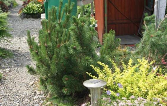 Сосна горная Пумилио (Pinus mugo pumilio). Семена этой формы были отобраны из семенного материала Pinus mugo по критериям наиболее маленького годового прироста и наибольшей распростертости (сосновый стланик). Образует плотные приземистые куртины. Диаметр кроны до трех метров, высота до полутора метров. Морозостойка. Устойчива в городских условиях.