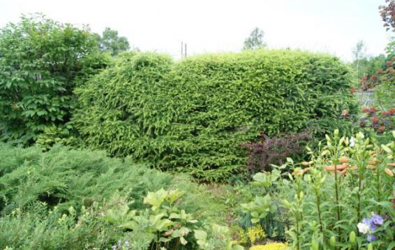 Живая изгородь из лиственниц Гмелина (Larix gmelinii)
