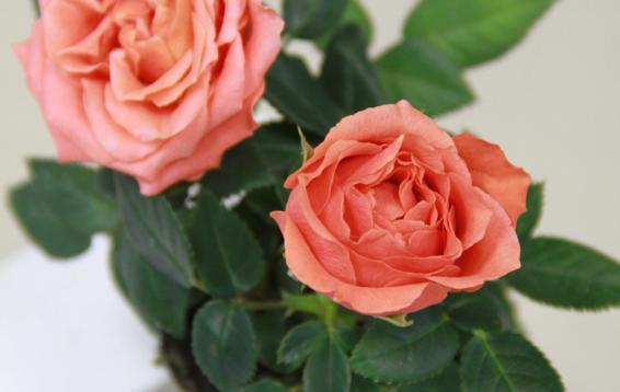 Роза мини